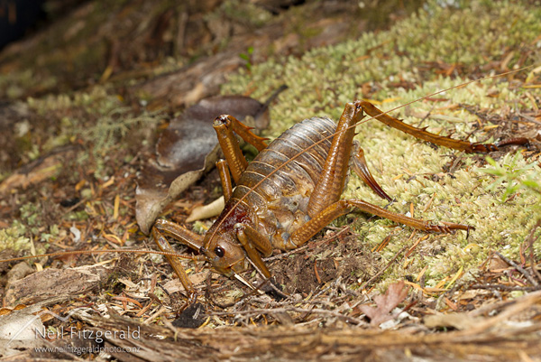 Little Barrier Island giant weta