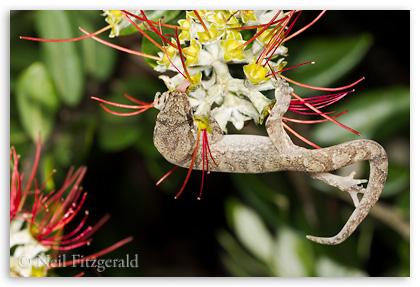 Mokohinau gecko