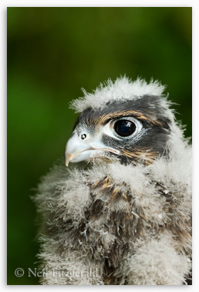New Zealand falcon chick