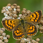 copper butterfly photo