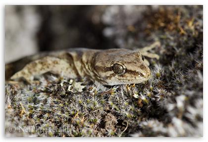 Marlborough mini gecko