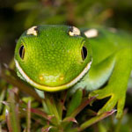 photo of a North Cape green/yellow-lipped gecko