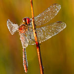 Red percher dragonfly