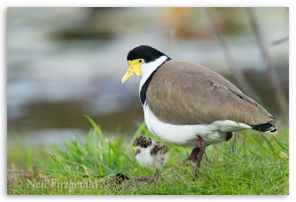 Spur-winged plover with chick